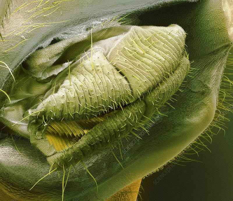 Fruit fly mouth, SEM