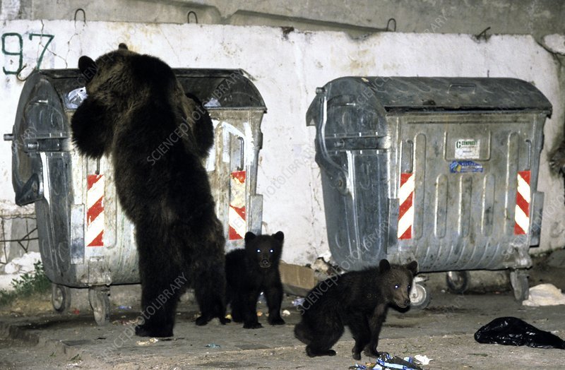 Brown bears rummaging through rubbish