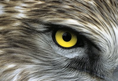 Short-toed eagle eye