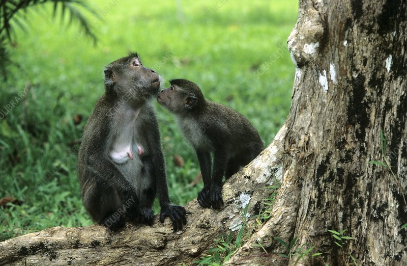 Long-tailed macaques socialising