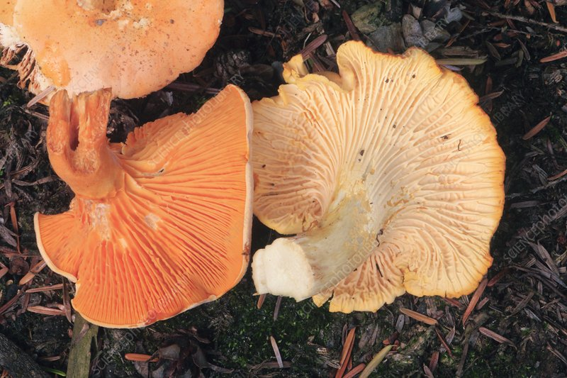 False and real chanterelle mushrooms
