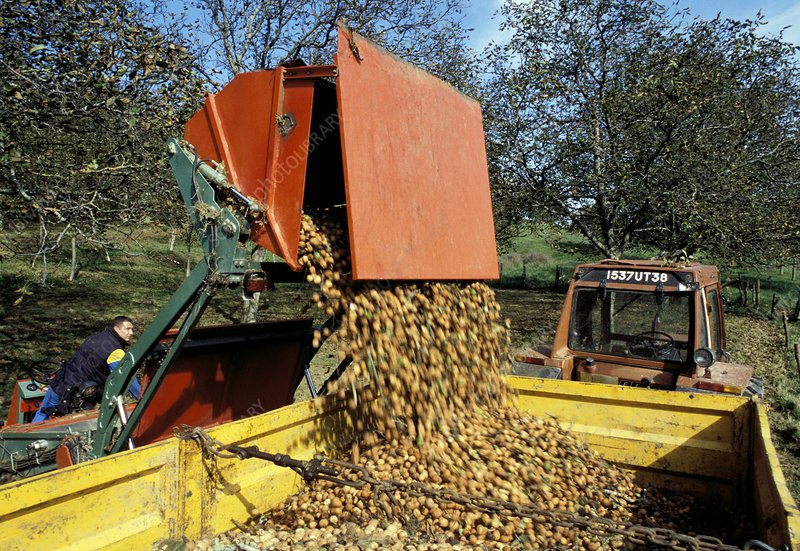 Walnut harvest, France