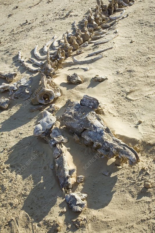 Whale fossil, Egypt