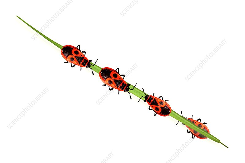 Firebugs on a blade of grass