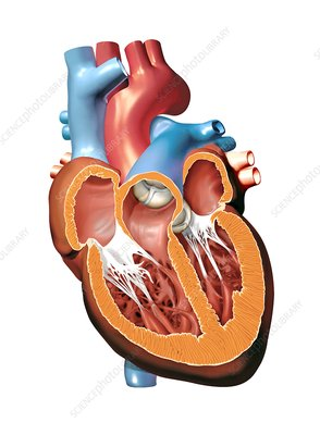 Human heart anatomy, artwork