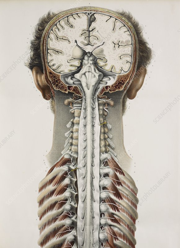 Brain and spinal cord, 1844 artwork