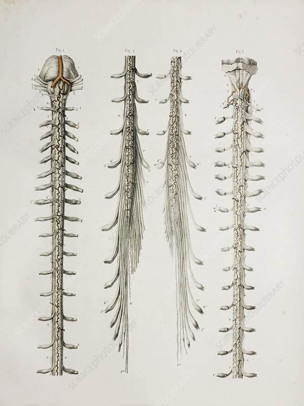 Spinal cord anatomy, 1844 artwork