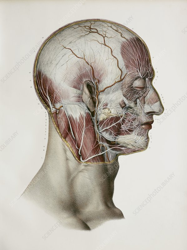 Facial nerve branches, 1844 artwork