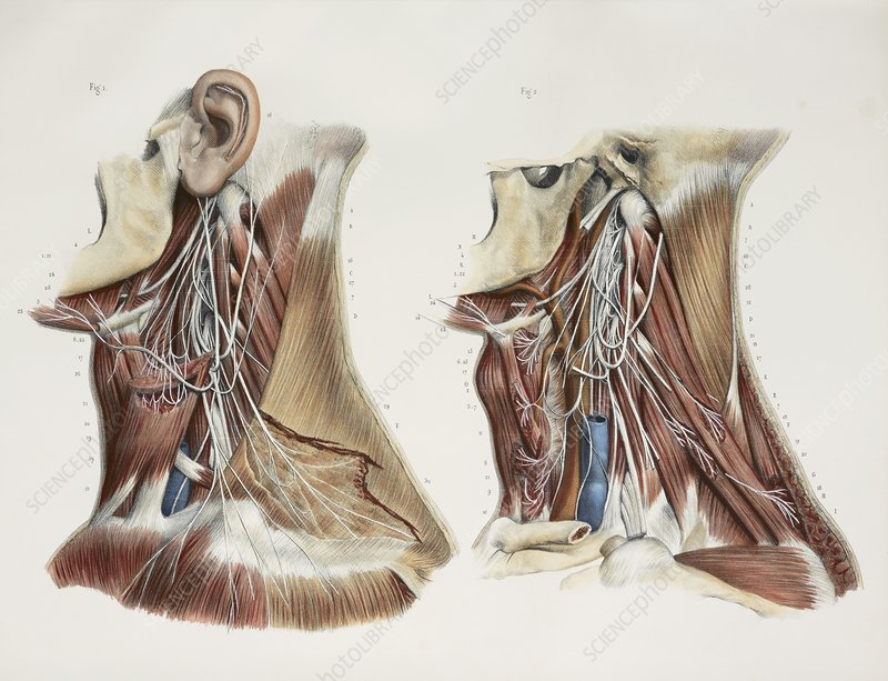 Cervical spinal nerves, 1844 artwork