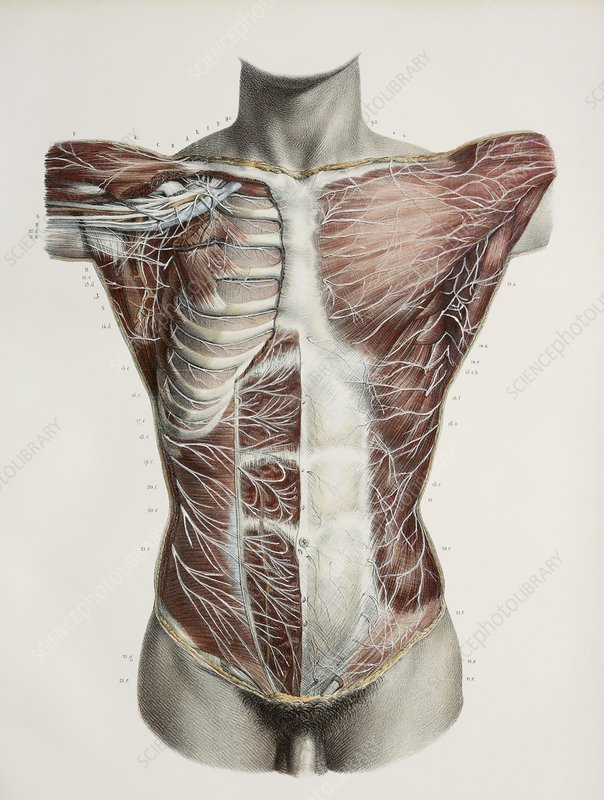 Superficial torso nerves, 1844 artwork