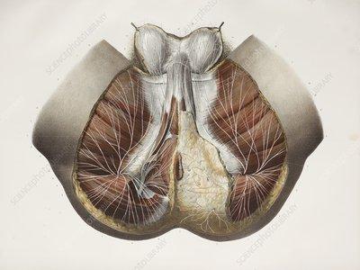 Male perineal nerves, 1844 artwork