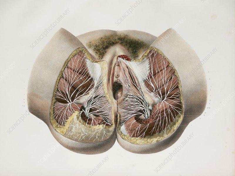 Female perineal nerves, 1844 artwork