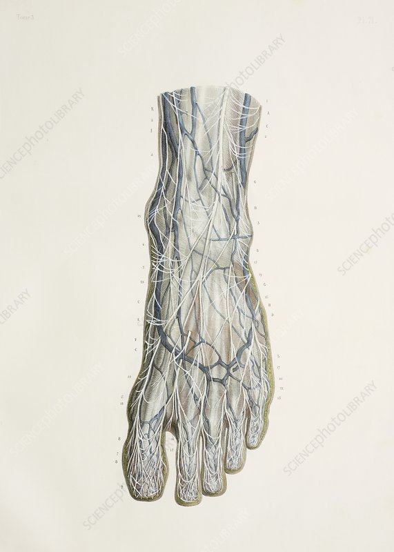 Nerves of the foot, 1844 artwork - Stock Image C010/4488 - Science ...
