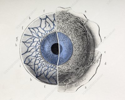 Eye anatomy, 1844 artwork