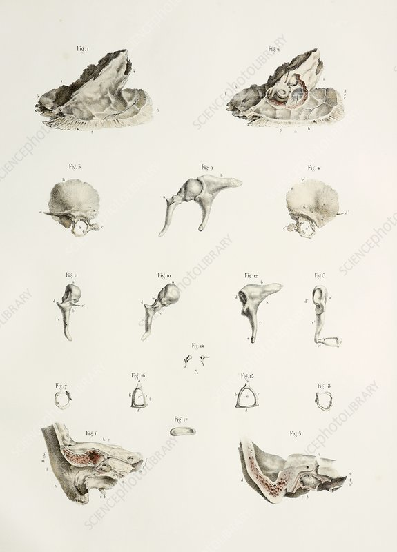 Bones of the middle ear, 1844 artwork