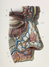 Nose nerves and vessels, 1844 artwork