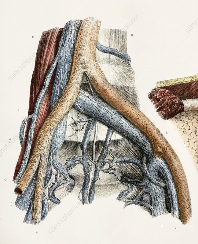Iliac blood vessel nerves, 1844 artwork