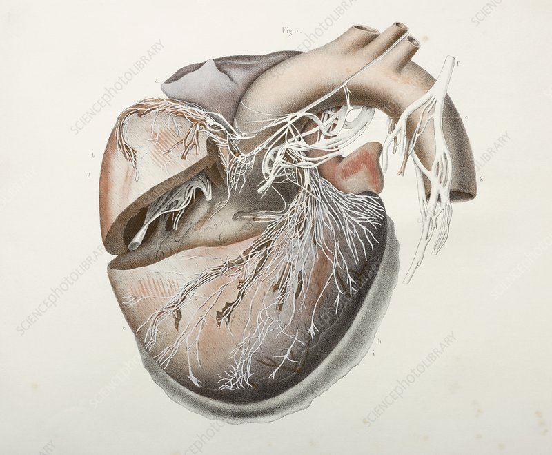Heart nerves, 1844 artwork