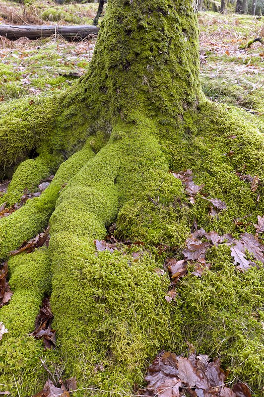 Mosses at the base of an oak tree