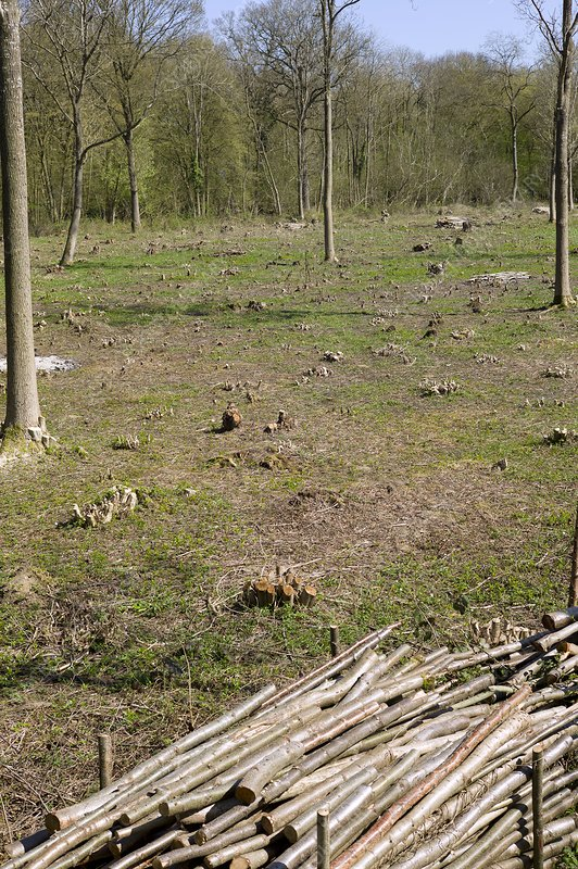 Coppice woodland