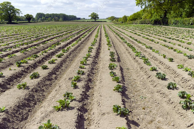 Potato plants cultivated in a field