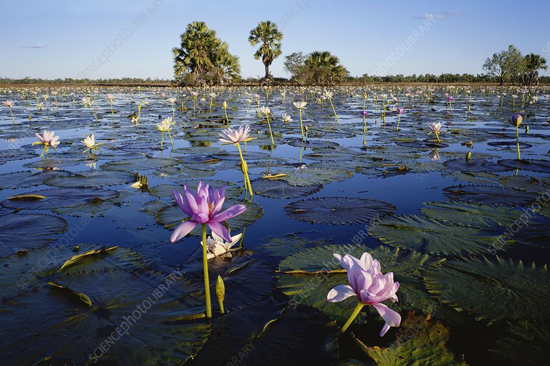 Water lilies (Nymphaea sp.)