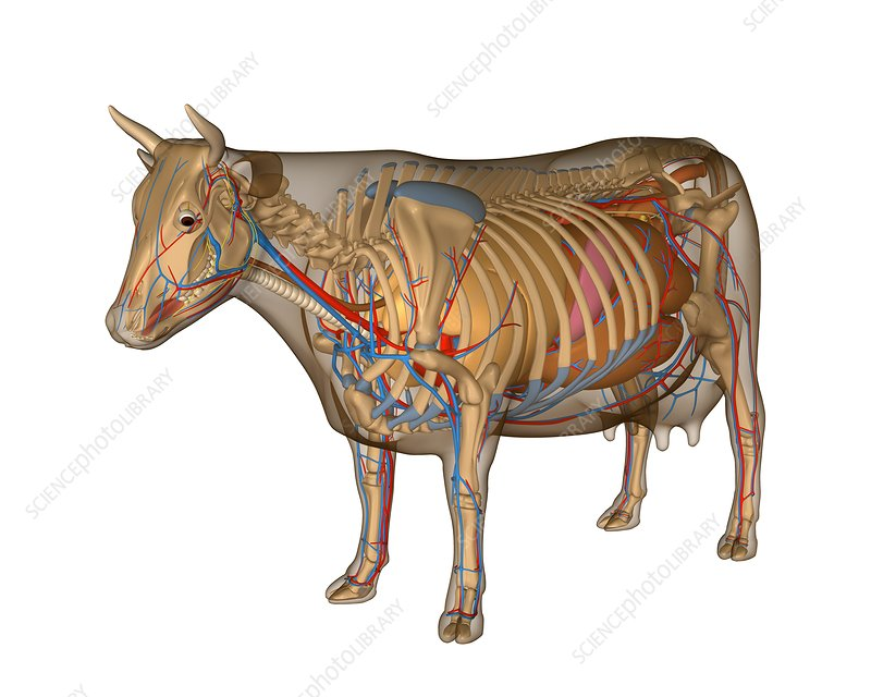 Cow anatomy, artwork