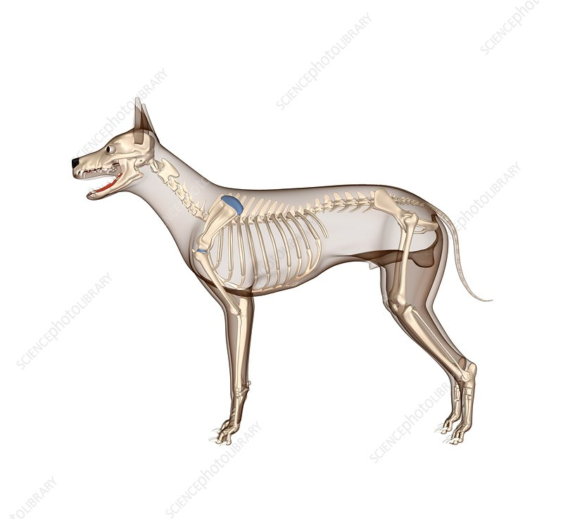 Dog anatomy, artwork