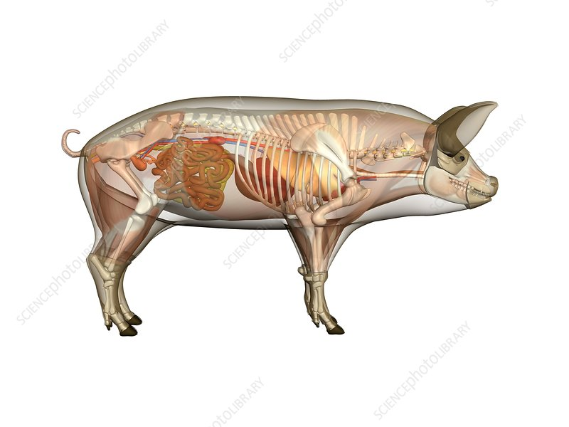 Pig Anatomy Artwork Stock Image C0104859 Science Photo Library