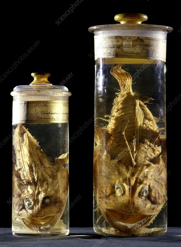Preserved monkfish