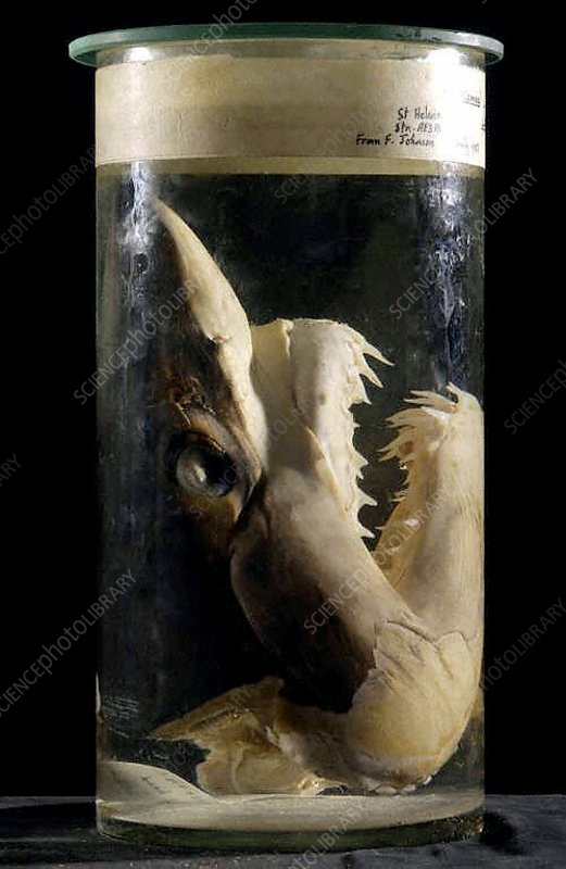 Preserved shortfin mako shark head