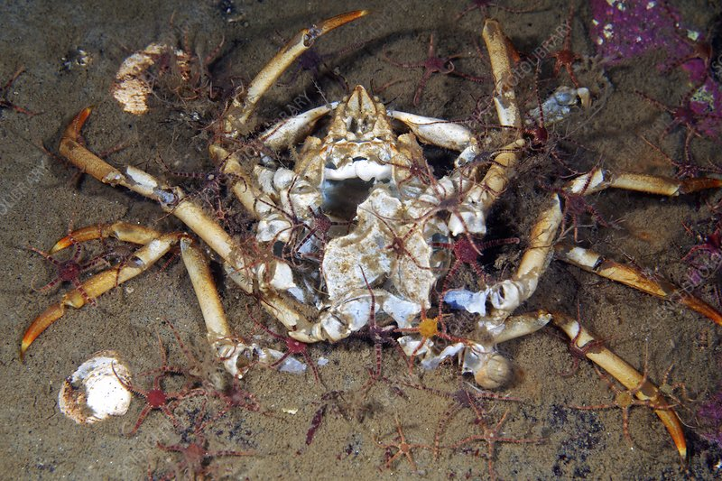 Dead great spider crab