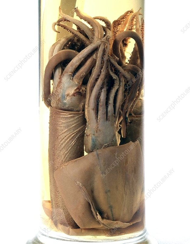 Preserved squid