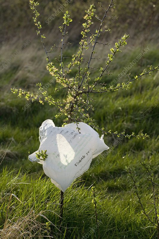 Hawthorn and plastic bag