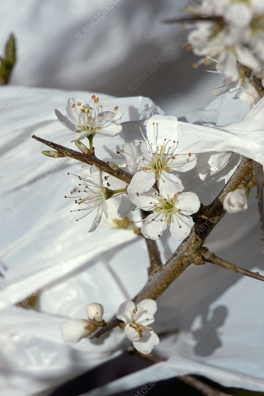 Blackthorn and plastic bag
