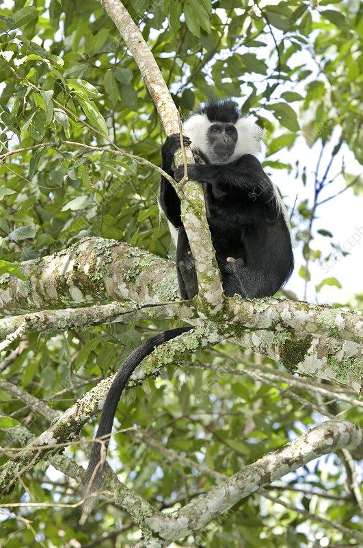 Ruwenzori black-and-white colobus