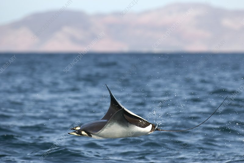 Mobula ray leaping