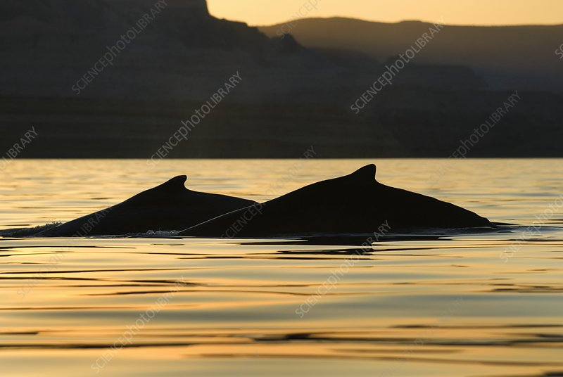 Humpback whales at sunset