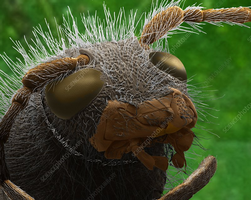 Wasp beetle head, SEM