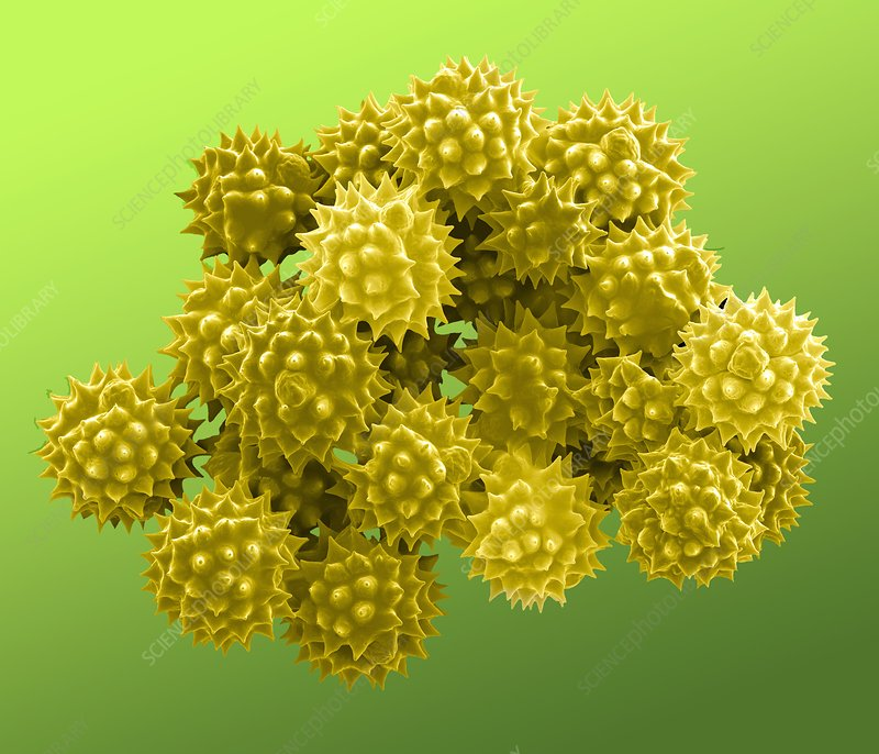 Groundsel pollen grains, SEM
