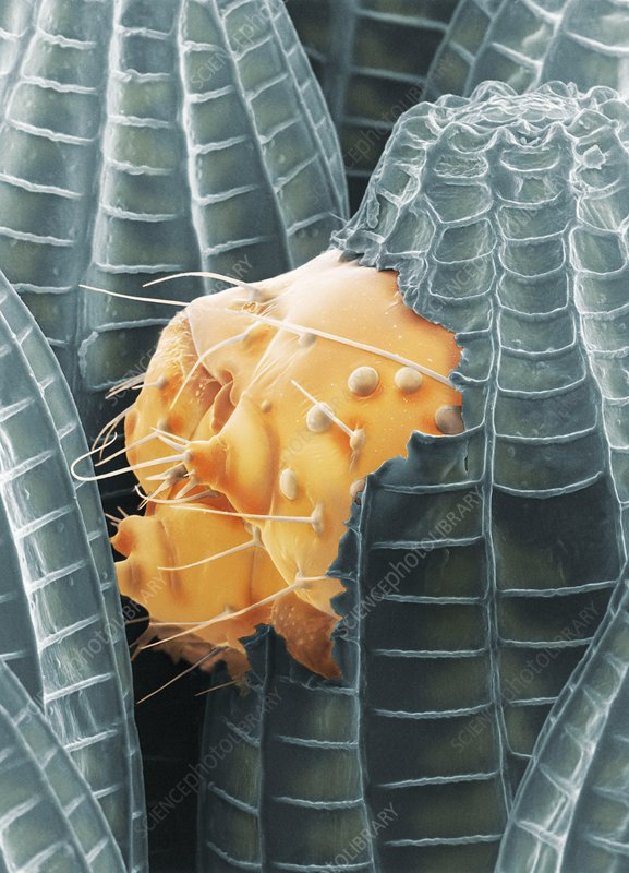 Cabbage white caterpillar hatching, SEM