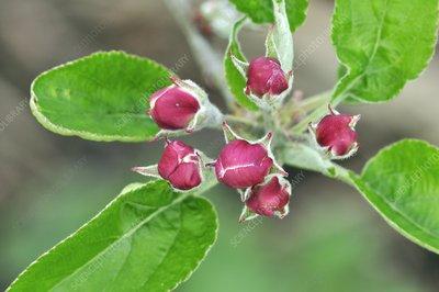 Apple (Malus Scrumptious')