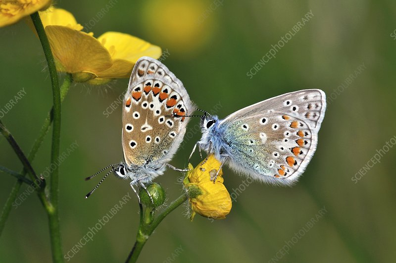 Common Blue Butterflies