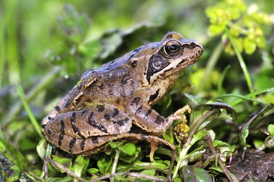 Juvenile common frog