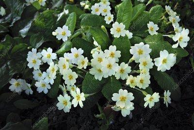 Primrose (Primula sp.)