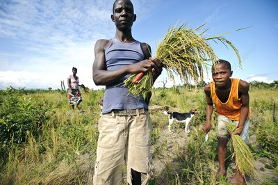 Rice harvest, Sierra Leone