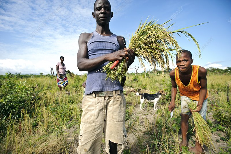 Rice harvest, Sierra Leone