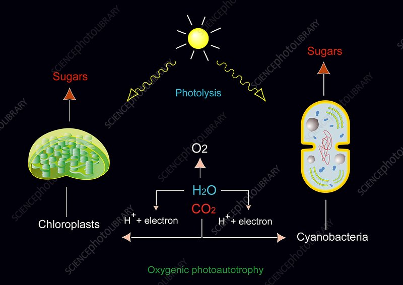 Photosynthesis, artwork