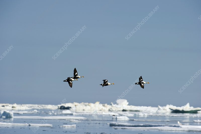 Flock of King Eider ducks, Canada
