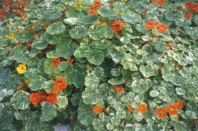 Tropaeolum majus 'Spitfire' flowers